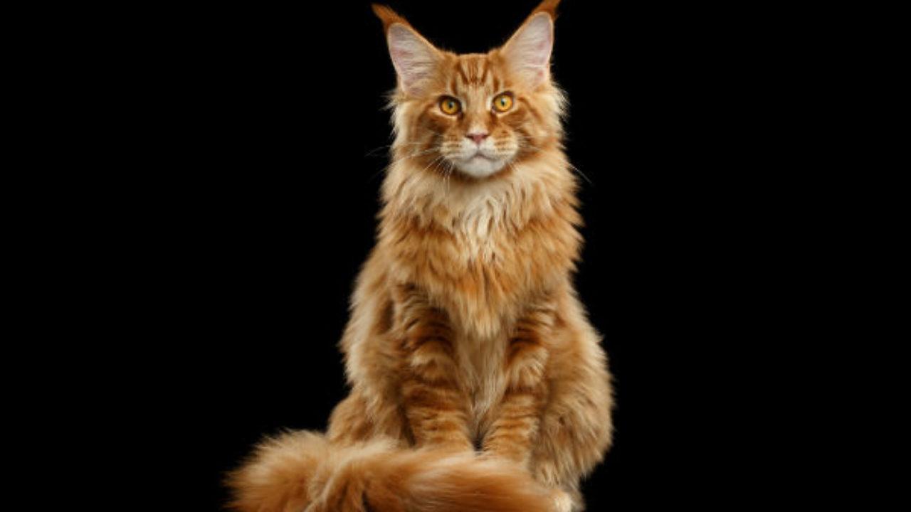 Estas são as 5 raças de gatos mais afetuosos do mundo