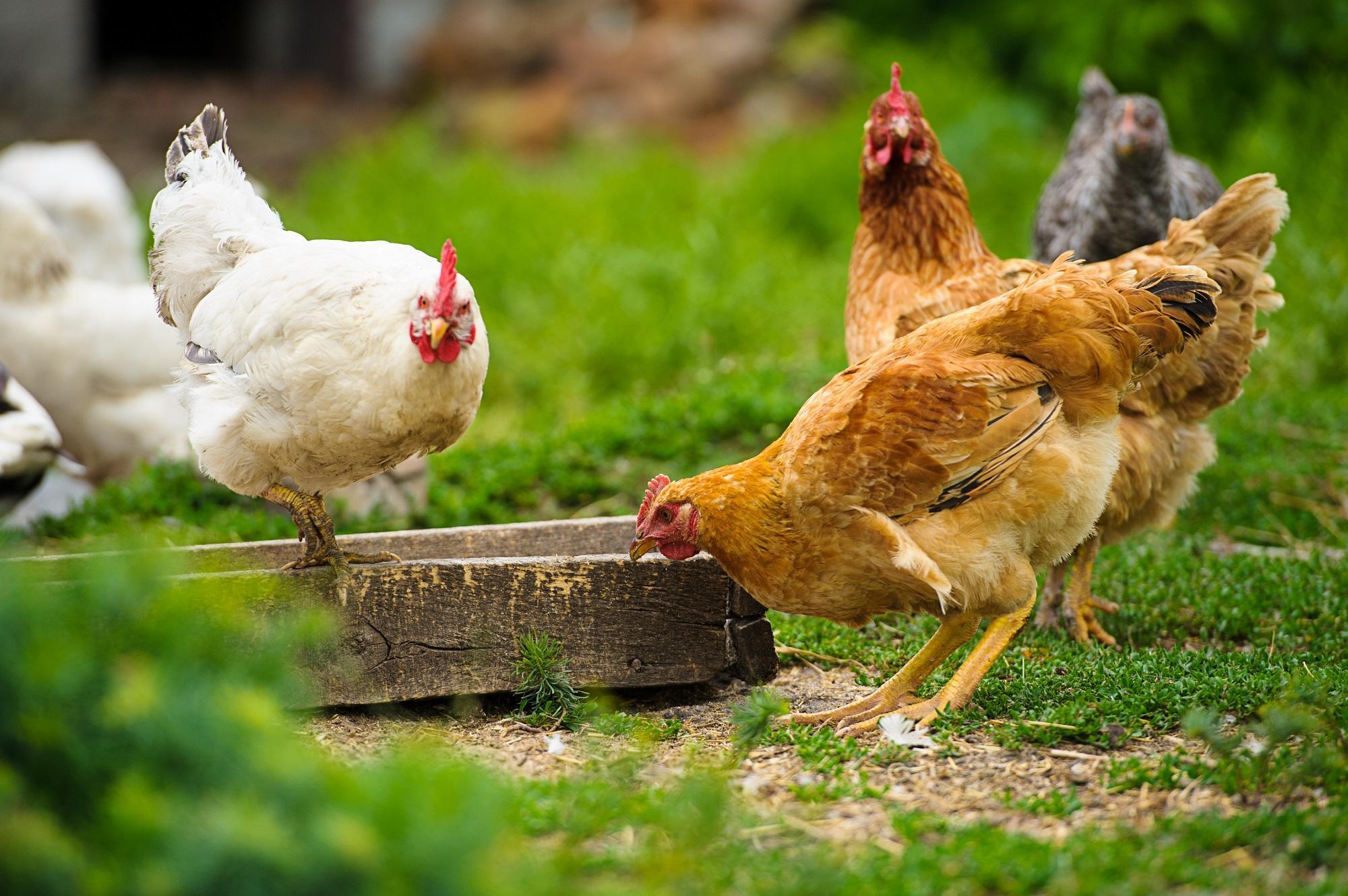 frango e o ovo